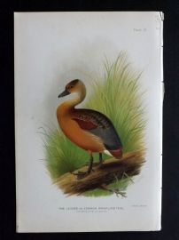 Baker & Gronvold Indian Ducks 1908 Bird Print. Lesser or Common Whistling Teal